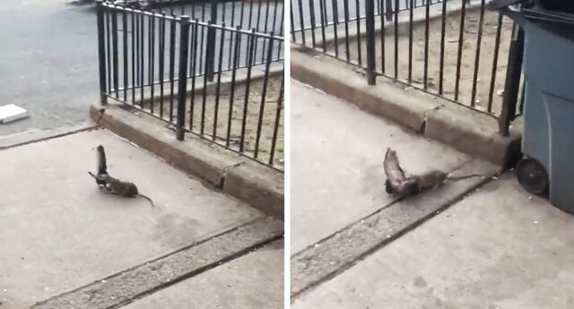 ¡Se la quiso comer! Traseúntes neoyorquinos quedan atónitos tras ver el ataque de una rata a una paloma (VIDEO)