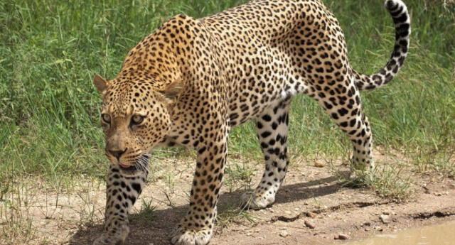 ¡Servicio con susto incluido! Leopardo es captado cazando entre comensales de un restaurant (VIDEO)