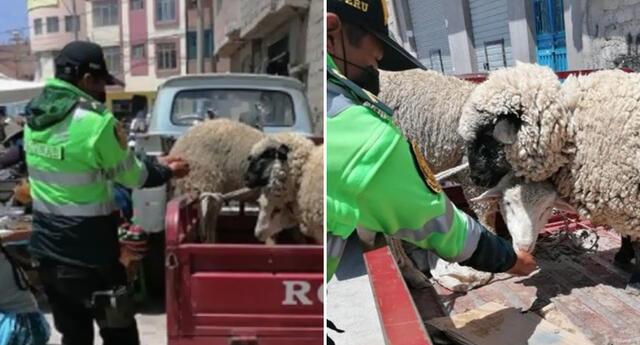 Policía lleva agua en sus manos a ovejas amarradas que estuvieron horas bajo el sol