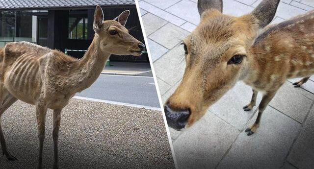 Ciervos de Nara en Japón peligran por falta de turistas y entristecen las redes sociales