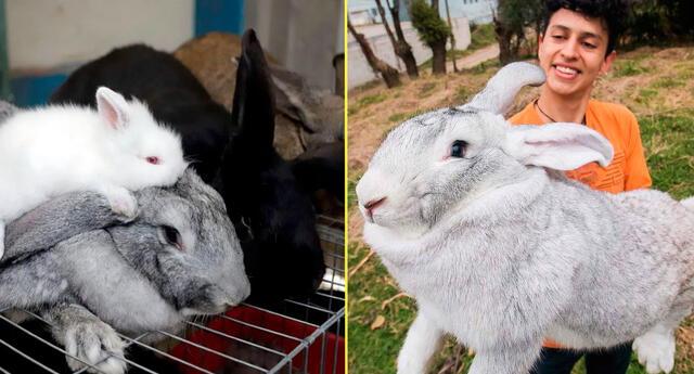 Joven mexicano cría a los conejos más grandes del mundo.