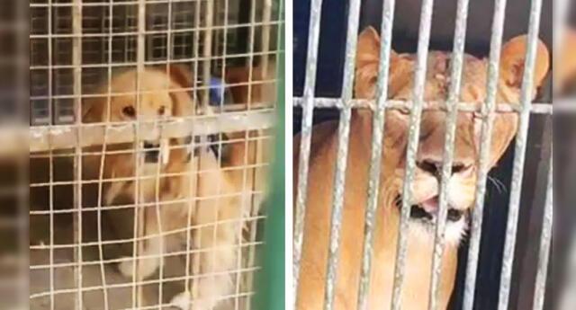 Zoológico chino hace pasar a perro golden retriever por un león.
