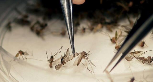 Gracias al proyecto se prevendrían enfermedades provocadas por el 'Aedes aegypti'.