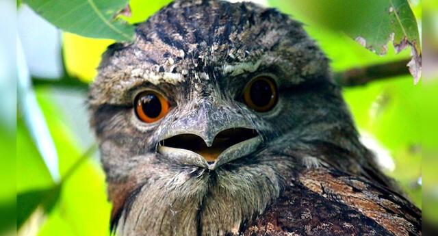 """La ave """"boca de rana"""" es la más instagrammeable del mundo."""